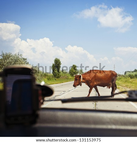 Cow on the road in the countryside