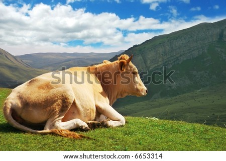 Cow on top  of the hill in summer - more similar photos in my portfolio - stock photo