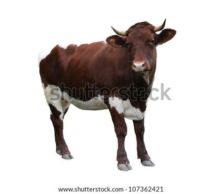 Cow on white background - stock photo