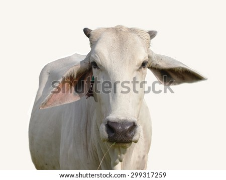 Cow on white background, focus at face, - stock photo