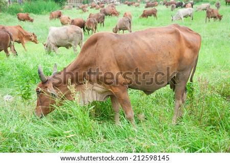 cow, ox - stock photo