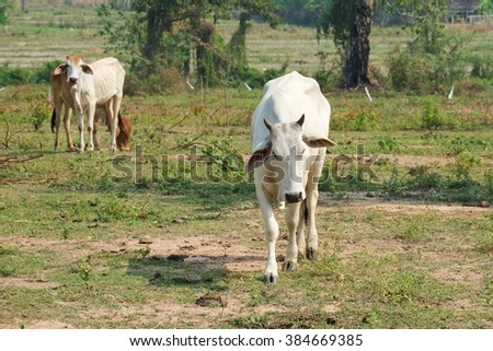 Cow , Ox , Red Ox - stock photo