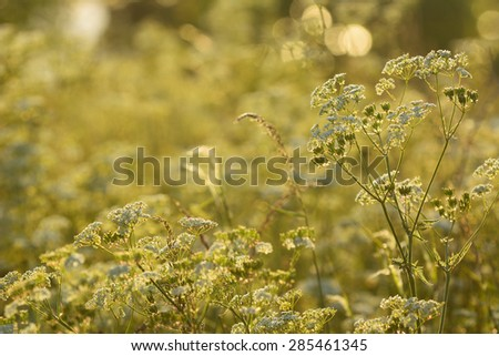 Cow parsley during a windy summer evening