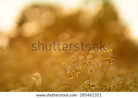 Cow parsley during a windy summer evening - stock photo