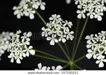 Cow parsley flowers on black background - stock photo