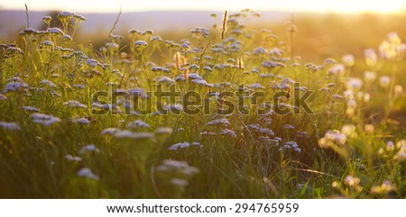 cow parsnip at sunset. backlit by the evening sun. - stock photo