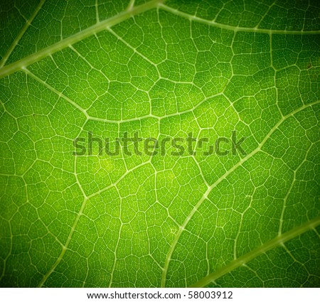Cow parsnip green leaf texture. - stock photo