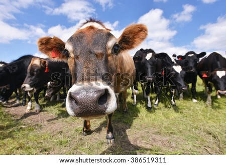 Cow portrait, New Zealand - stock photo