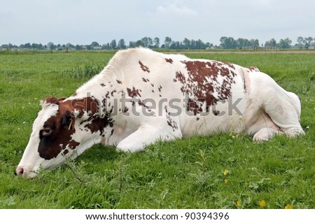 cow recovering from cesarean section - stock photo