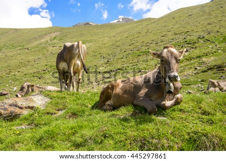 Cow relaxing on alpine field - stock photo