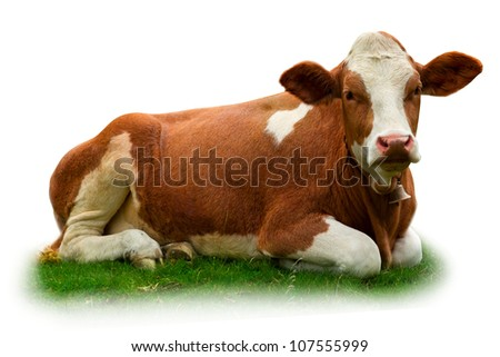 Cow relaxing on grass isolated on white - stock photo