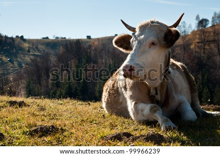 cow resting on a plain, close view