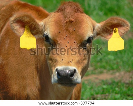 cow's face covered with flies in pasture - stock photo