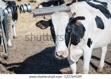 Cow scratches her horn while having a rest on a farm - stock photo