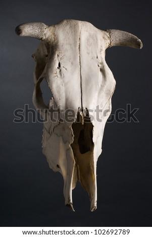 Cow skull - stock photo