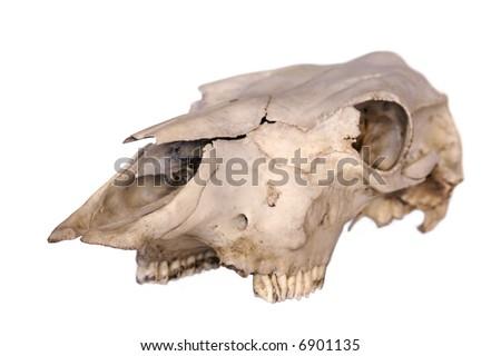 Cow Skull 4 - stock photo