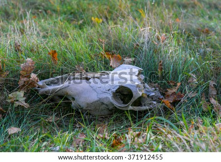 Cow skull in green dry grass - stock photo