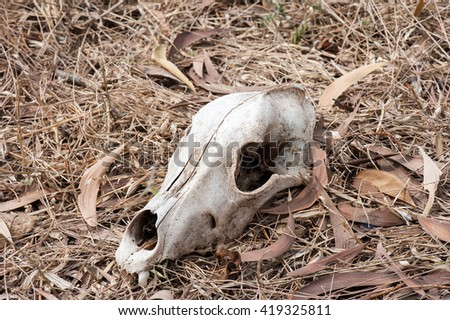 cow skull on the ground - stock photo