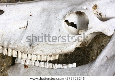 cow skull profile - stock photo