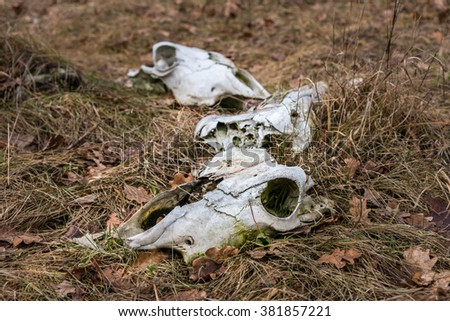Cow skulls in dry grass with dry leaves - stock photo
