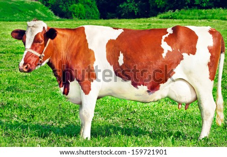 cow sleeping in the meadow on a sunny day - stock photo