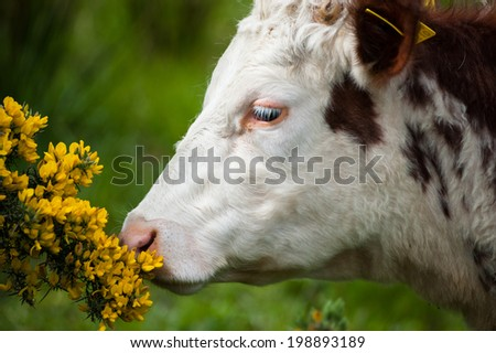 cow smelling the flowers - stock photo