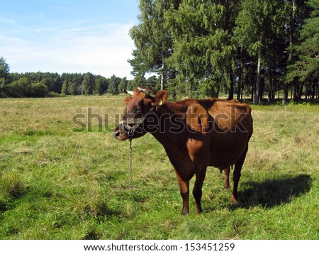 Cow specie named latvian brown cow, grazing