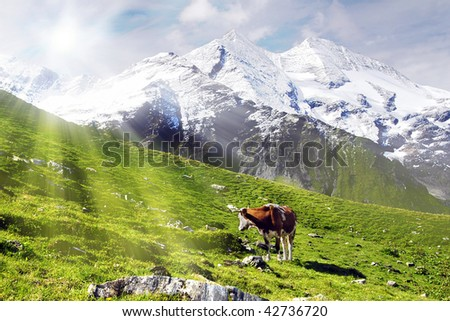 Cow standing on an alpine meadow is looking into the sun - stock photo