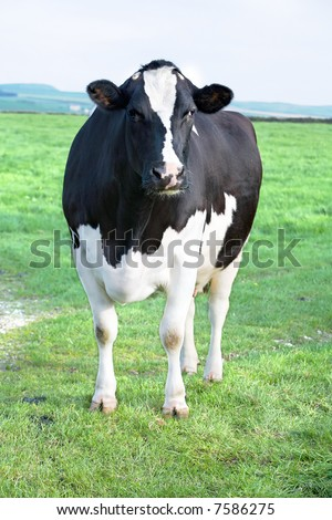 Cow standing on the green grass on the farm. - stock photo