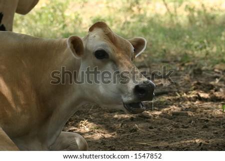Cow Stare - stock photo