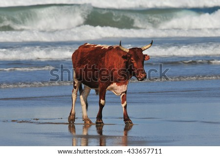 Cow strolling on the beach - stock photo