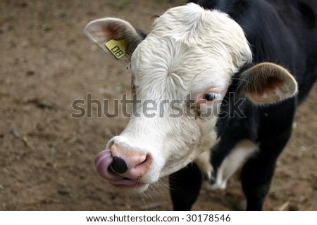 Cow tongue - stock photo