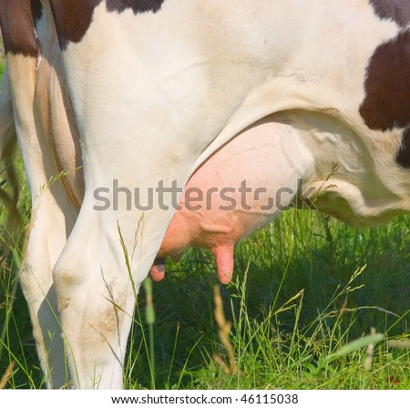 cow udder - stock photo
