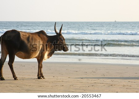 Cow wandering around beach in india.