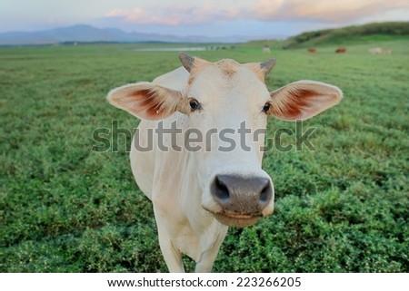 Cow were field - stock photo