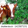 Cow white and brown female licked. - stock photo
