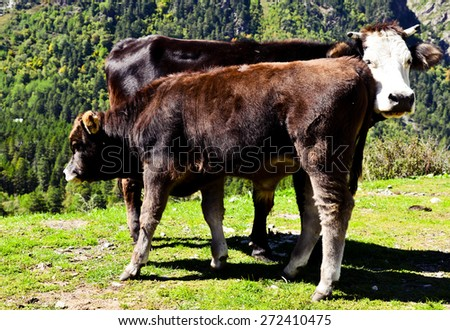 Cow with a calf - stock photo
