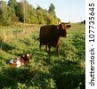 Cow with calf on grassland - stock photo