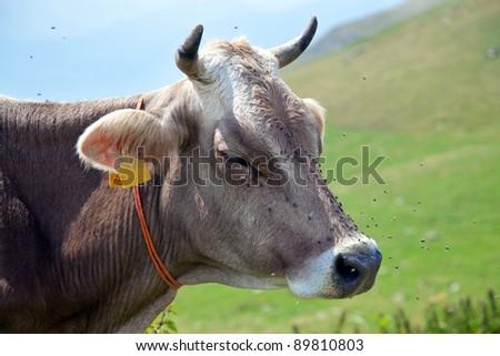 Cow with flies - italian alps - stock photo