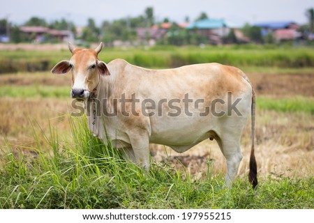Cow with green grass in rural of thailand