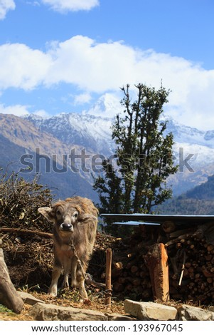 Cow with Himalayan background in Nepal - stock photo