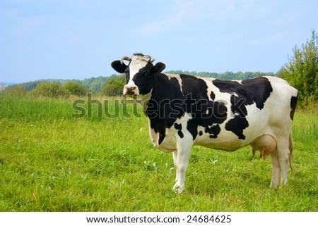 cow, with milk - stock photo