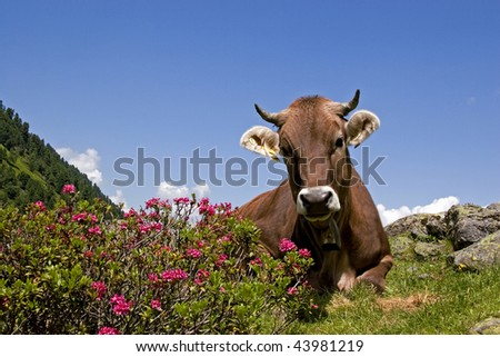 cow with mountains - stock photo
