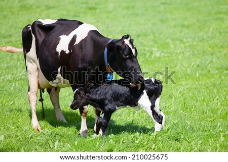 Cow with newborn calf  - stock photo