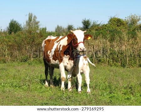 Cow with newborn calf - stock photo