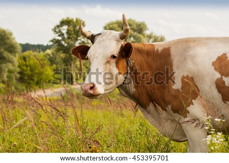 Cow with white spots on pasture in the villag - stock photo