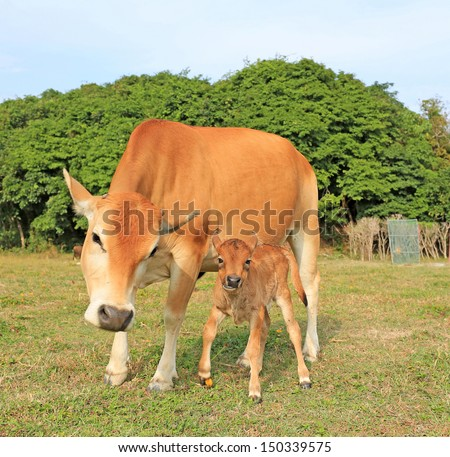 cow world, mother take care the son in Sai Kung, Hong Kong Global Geopark - stock photo