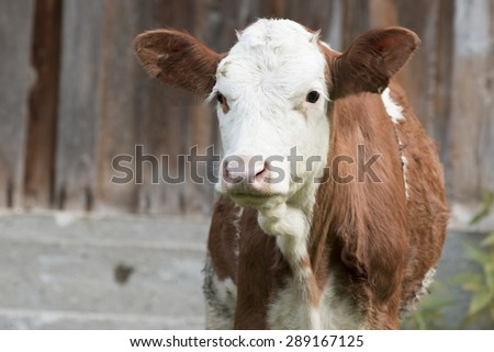 Cow, young calf looking at the camera - stock photo