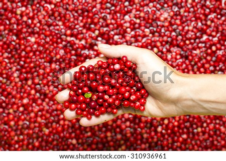 Cowberry in woman`s hand. - stock photo