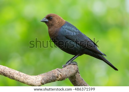 Cowbird perched on a tree branch.
